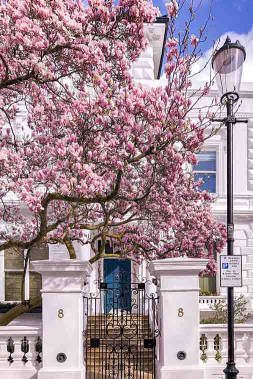 Blooming magnolia in front of a white house with a blue door
