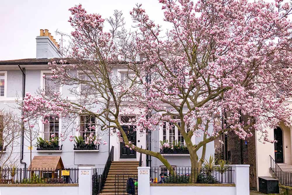 Big magnolia in bloom outside a blue two storey house