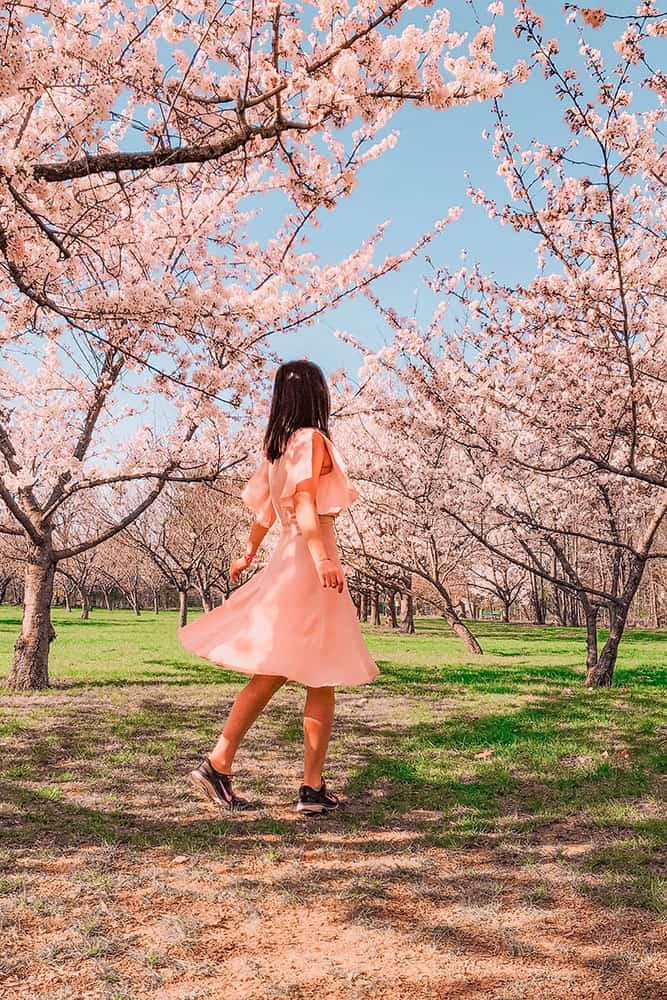 Woman dressed in pink standing amongst pink cherry blossom trees in a park