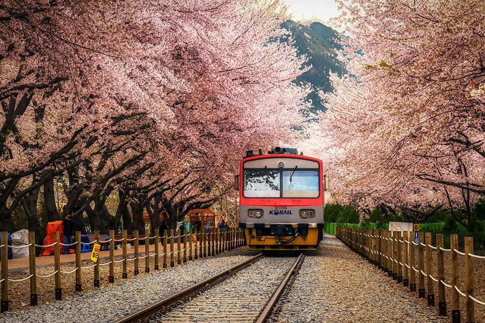 Train approaching on railway tracks with cherry blossom trees on both sides