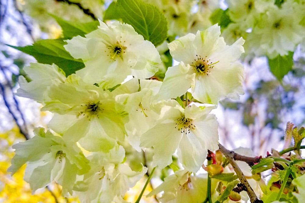 Image of green cherry blossom flowers
