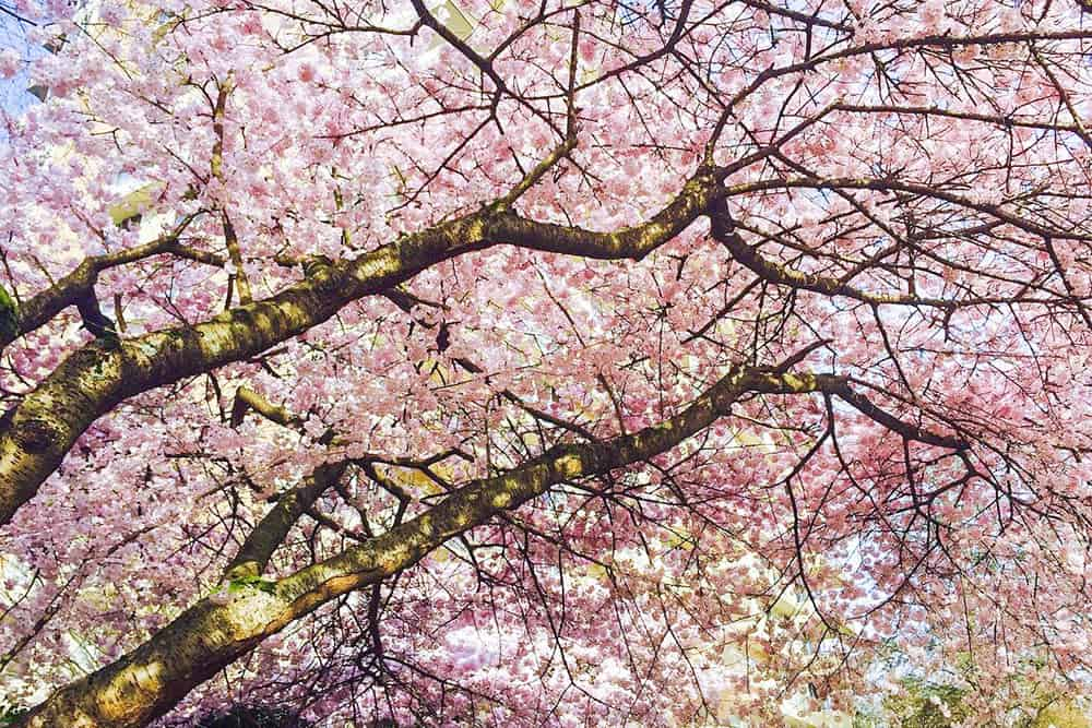 Tree branches covered in pink cherry blossom