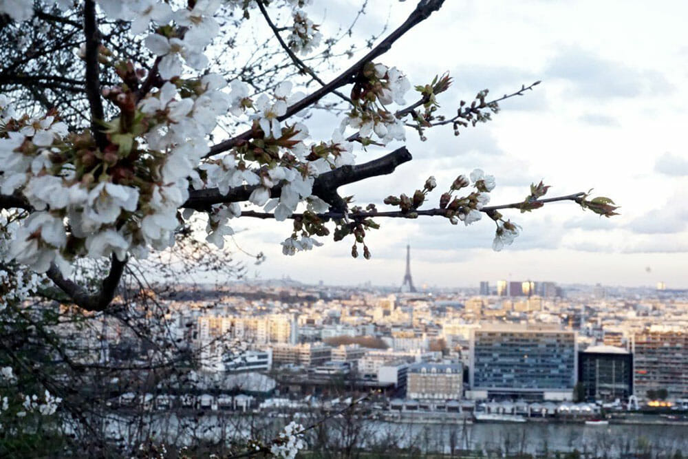 Cherry Blossom branches in the foreground with a view of Paris in the background with Eiffel Tower in the horizon