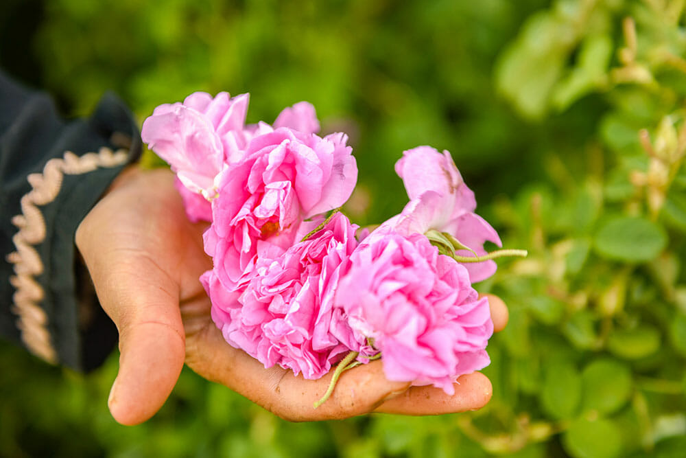 Hand holding rose flowers