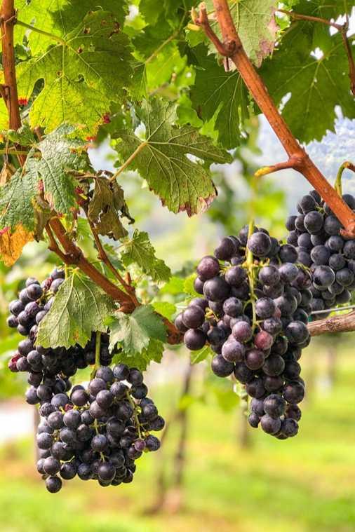 Grapes-at-Il-Cipresso-in-Vescovado,-Lombardy
