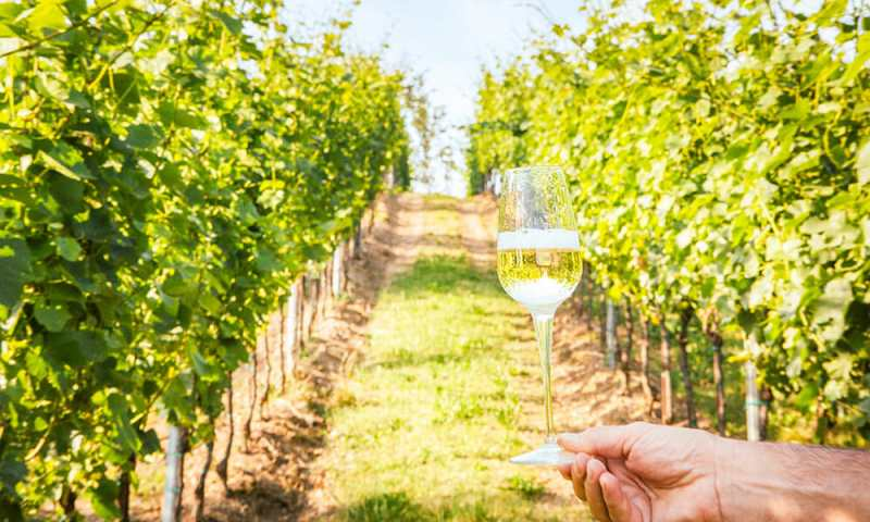 Hand holding a glass of sparkling wine with vines in the background