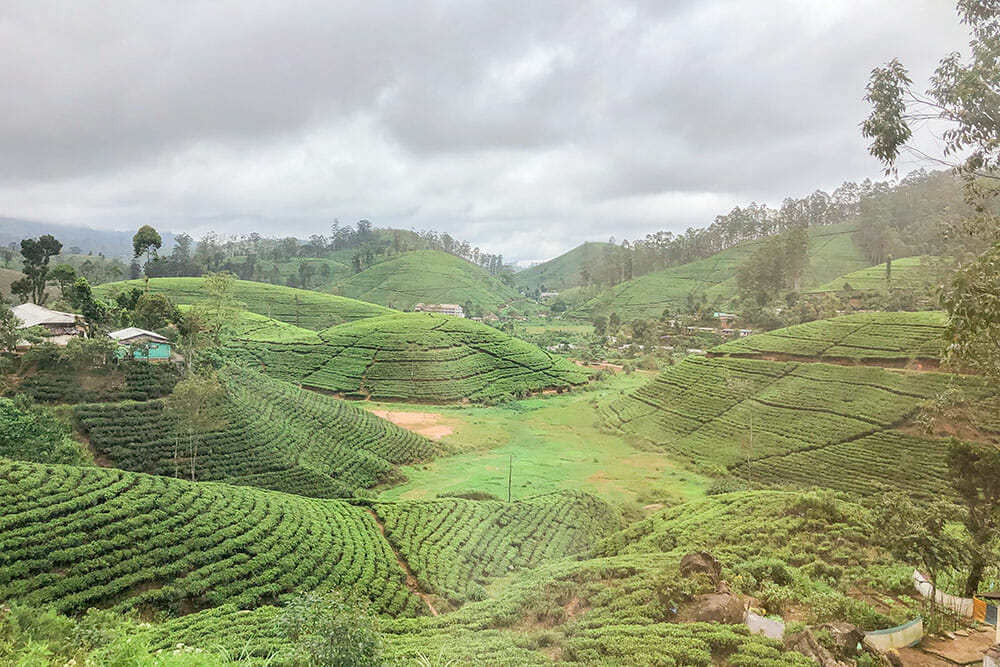Hills covered in tea fields