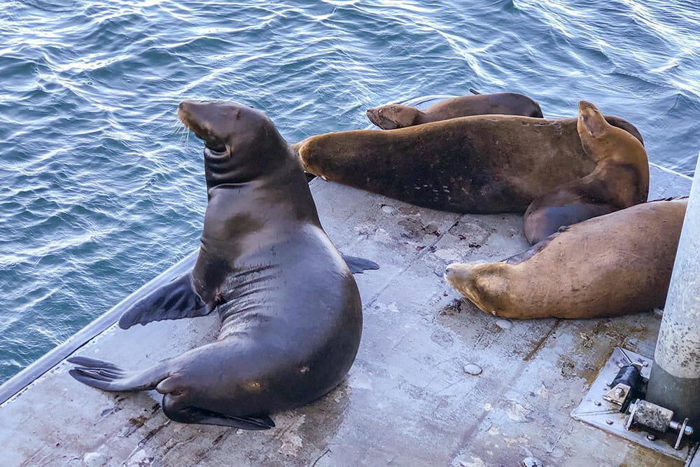 Five sea lions resting on a floating platform