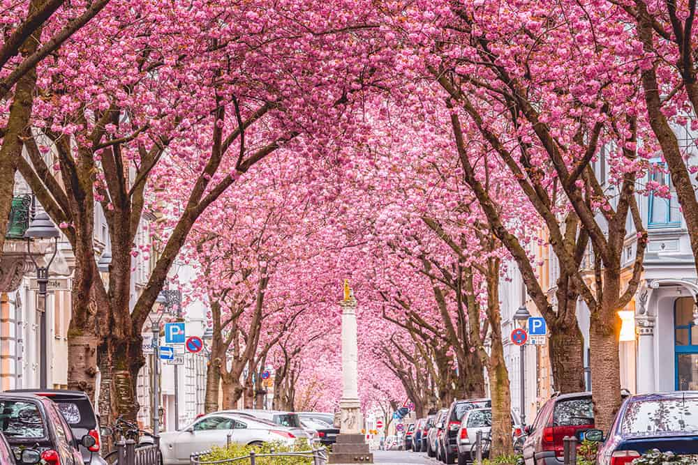Tunnel of pink cherry blossoms created by an avenue of trees along a tree with parked cars