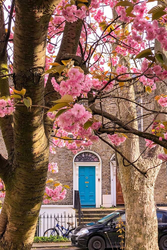Blue door framed by two cherry blossom trees in bloom