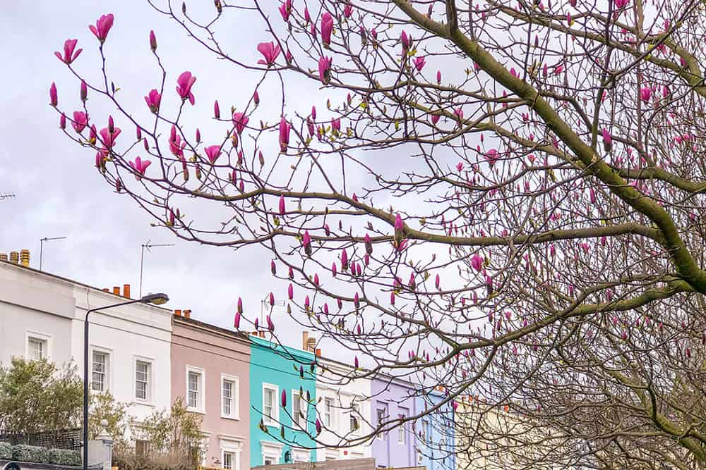 Branches of deep pink blooming magnolia in the foreground and a town of colourful terraced houses in the background