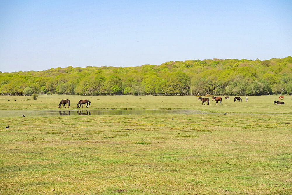 Ponies grazing on an open grassland with a forest in the background