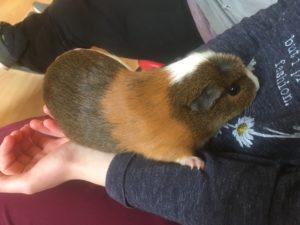 ginnie pig holding