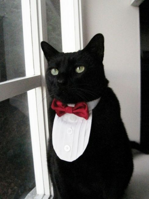Top 10 Best Cats With Bow Ties Pictures Bro J Simpson