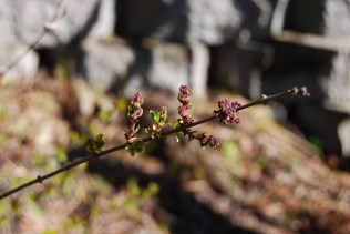 miniature Lilac new leaves and buds