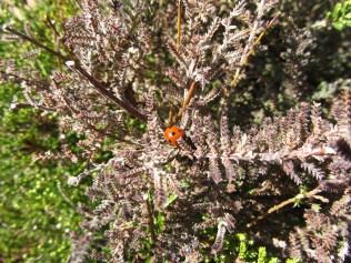 first Ladybug!