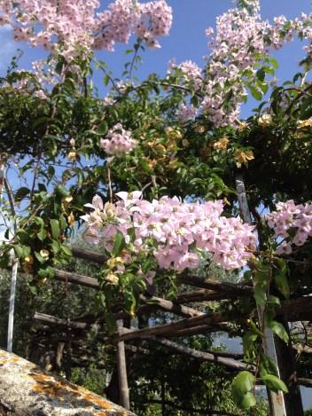 Blossom on Amalfi