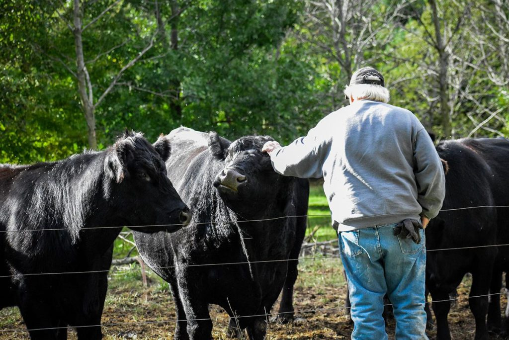 Cows,Black Angus
