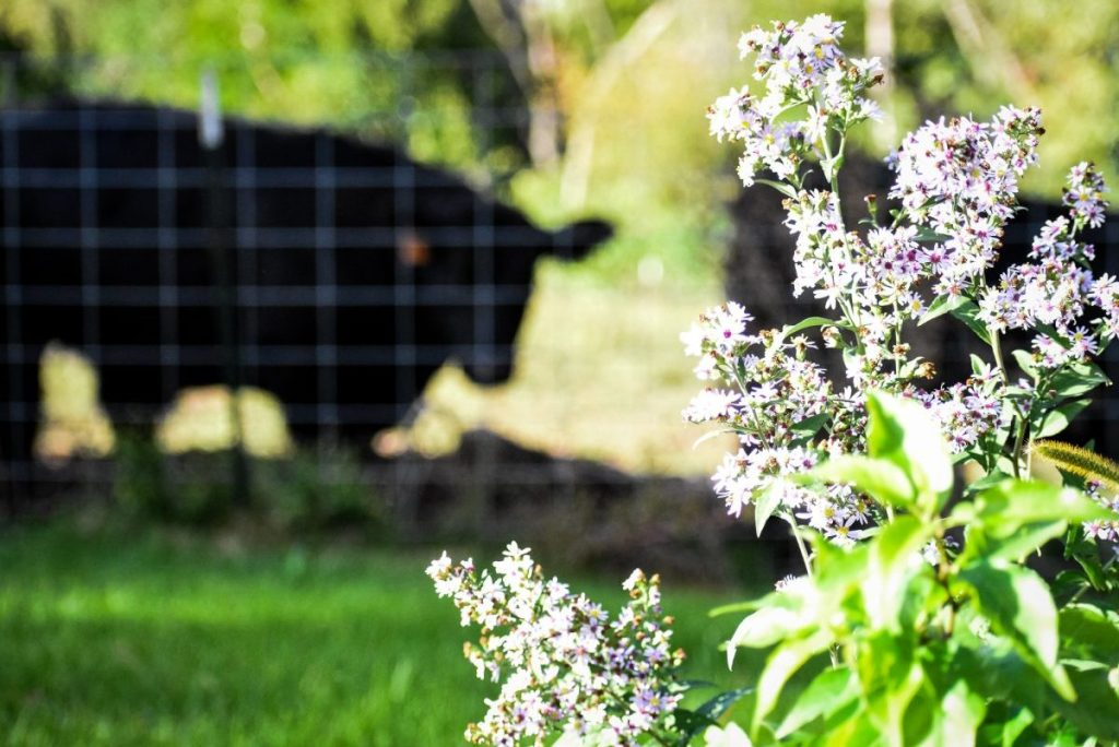 Black Aagus Cattle Flower forefront