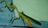 Praying mantis disagrees to move.