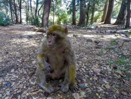 Monkey enjoying his fruit snack