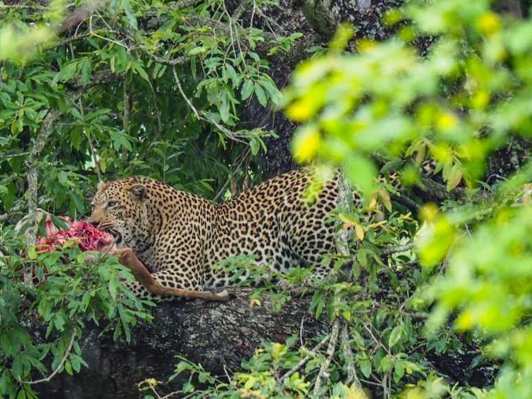 Leopard enjoying his kill in a tree