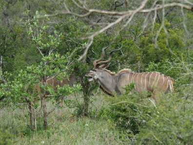 Kudu rudely shouting at his friends