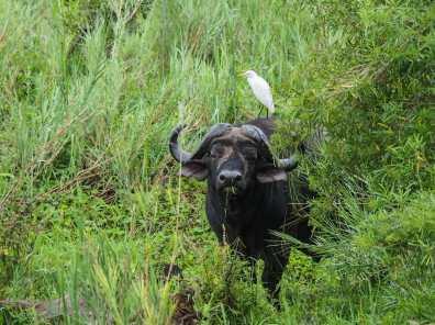 Buffalo and his bird friend