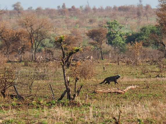 Little civet in the distance