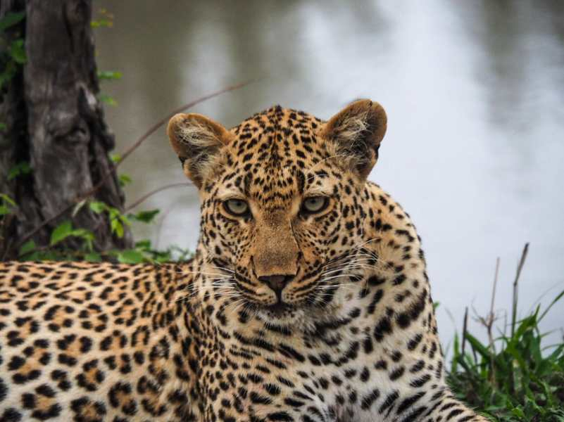 Staring contest with a female leopard