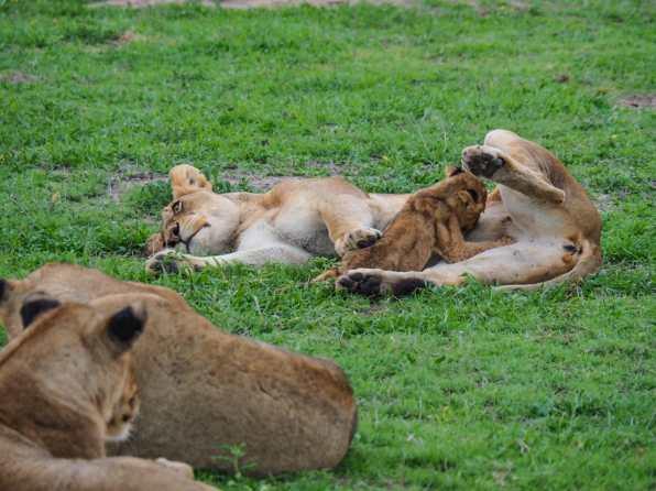 Lioness feeding her cub