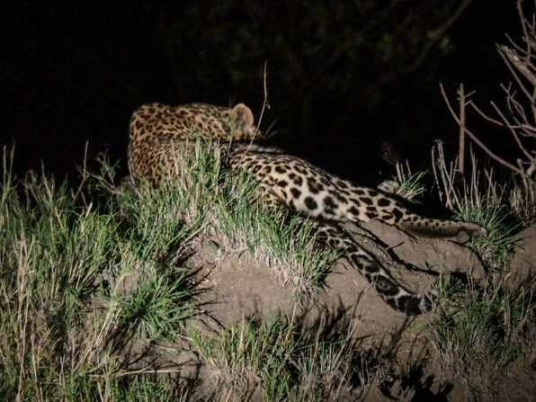 Leopard lounging on a termite mound at night