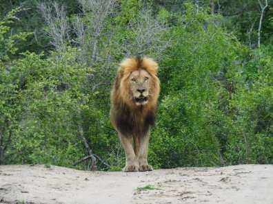 Lion coming toward us