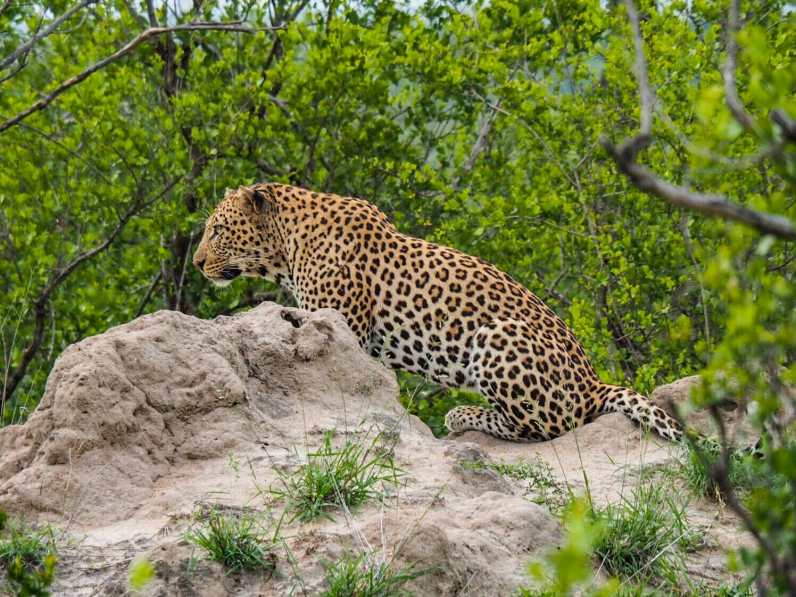 Leopard surveying his territory from a termite mound