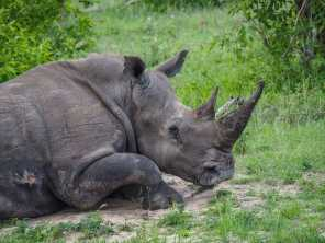 Rhino having a nap