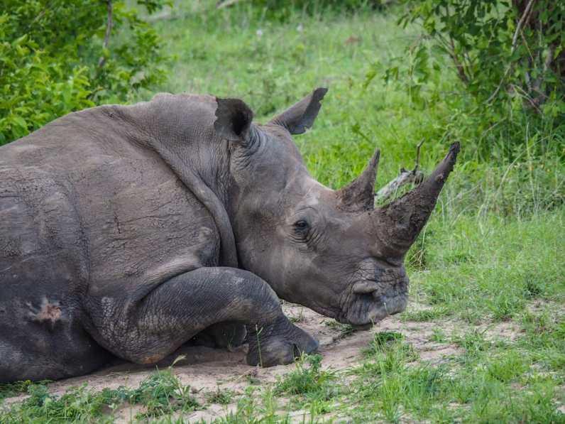 Rhino having a nap