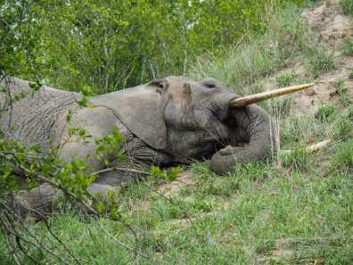Elephant taking a morning nap