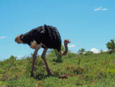 Ostrich on the move