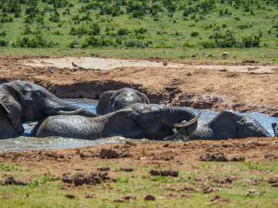 Elephants swimming in Hapoor Dam