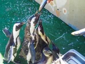 Mid-morning meal for the penguins