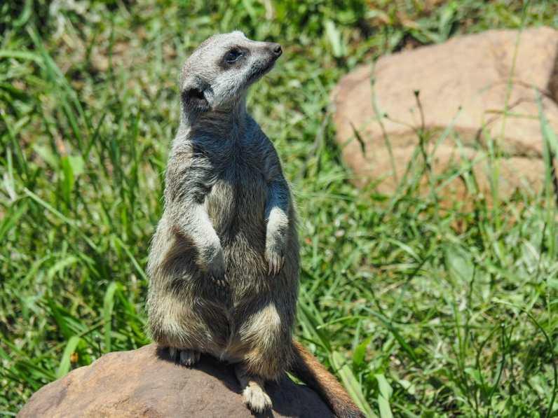 Meerkat checking for predators in the sky