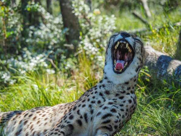Big kitty yawn