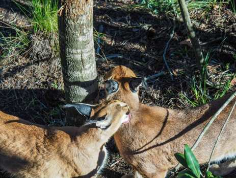 Caracal cleaning each other