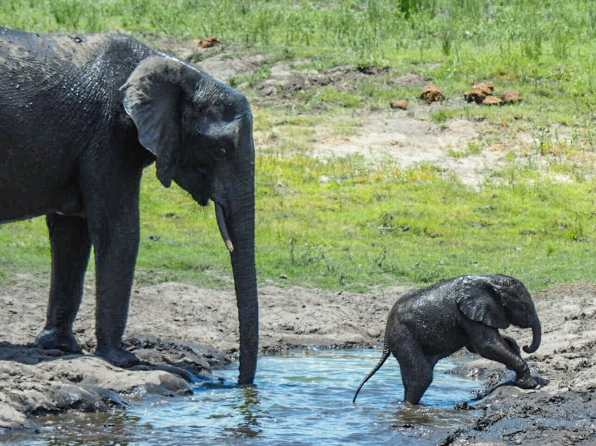 Baby elephant trying to leave the water