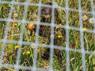 Mongoose cracking his raw egg