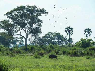 Lone buffalo