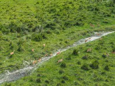 Impala running across the grass