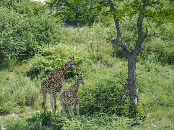 Mum & baby giraffe