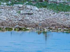 A little jackal taking a drink