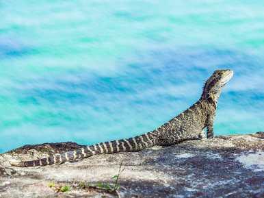 Eastern Water Dragon striking a pose